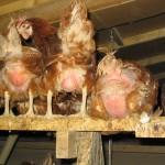 konventionelle Hühnerfarm